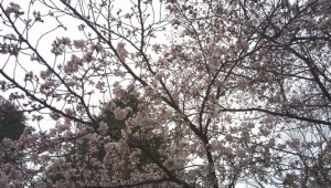 相模原桜祭り2