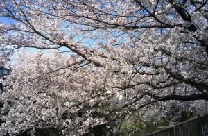 桜201604061