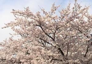 桜201604064