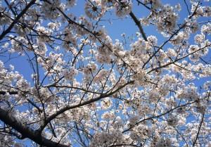 桜201604062