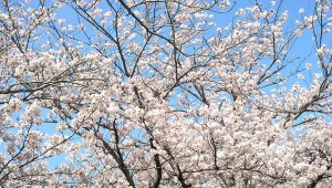 桜201604063