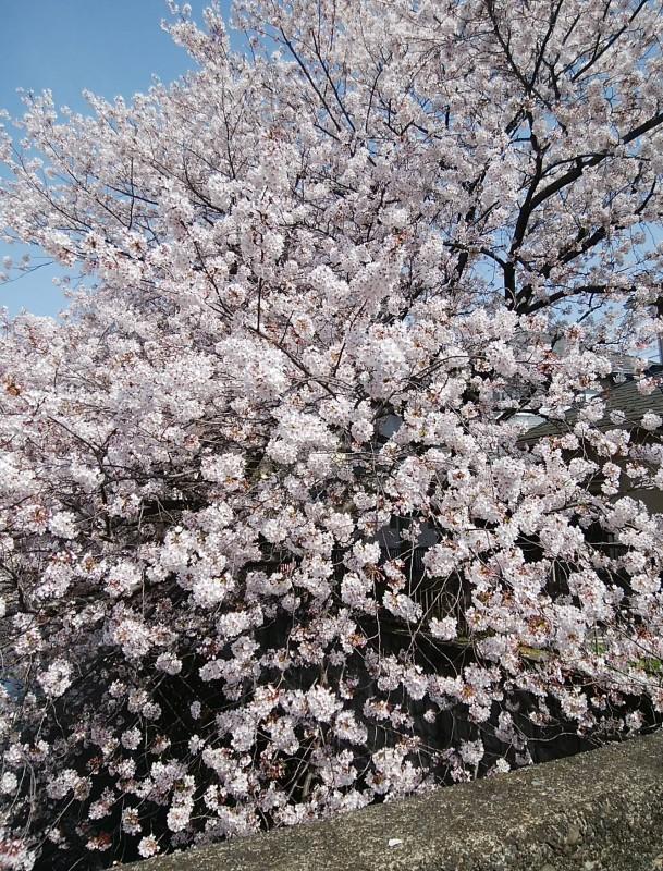 恩田川桜1