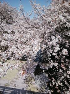 恩田川桜2