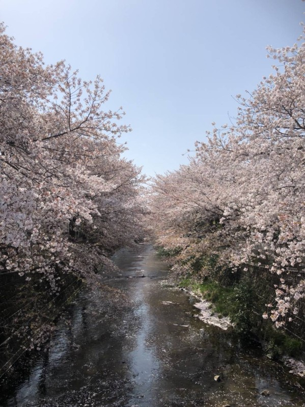 恩田川桜6